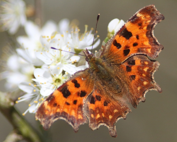 Comma butterfly, by Lewis Outing