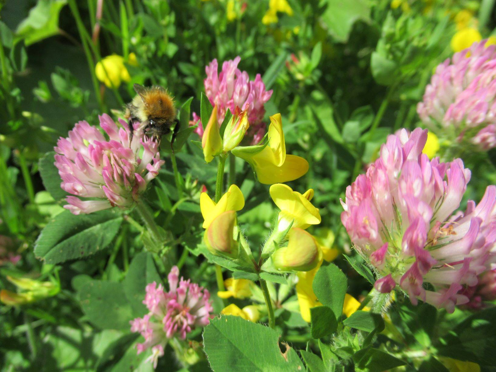 Common Carder Bee on Red Clover, with Bird's-foot trefoil