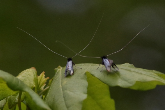 Green Longhorn moths, by Lewis Outing
