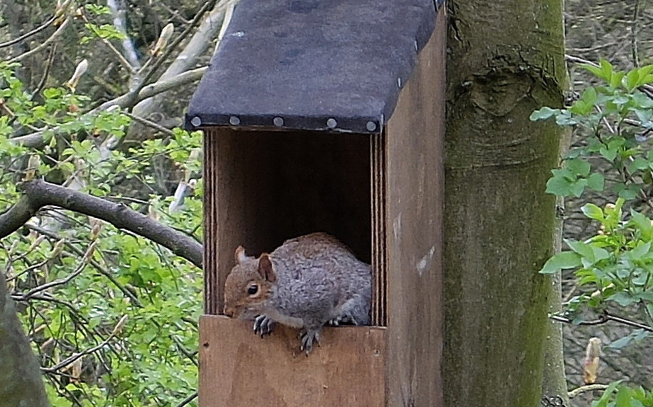 Squirrel in a nestbox