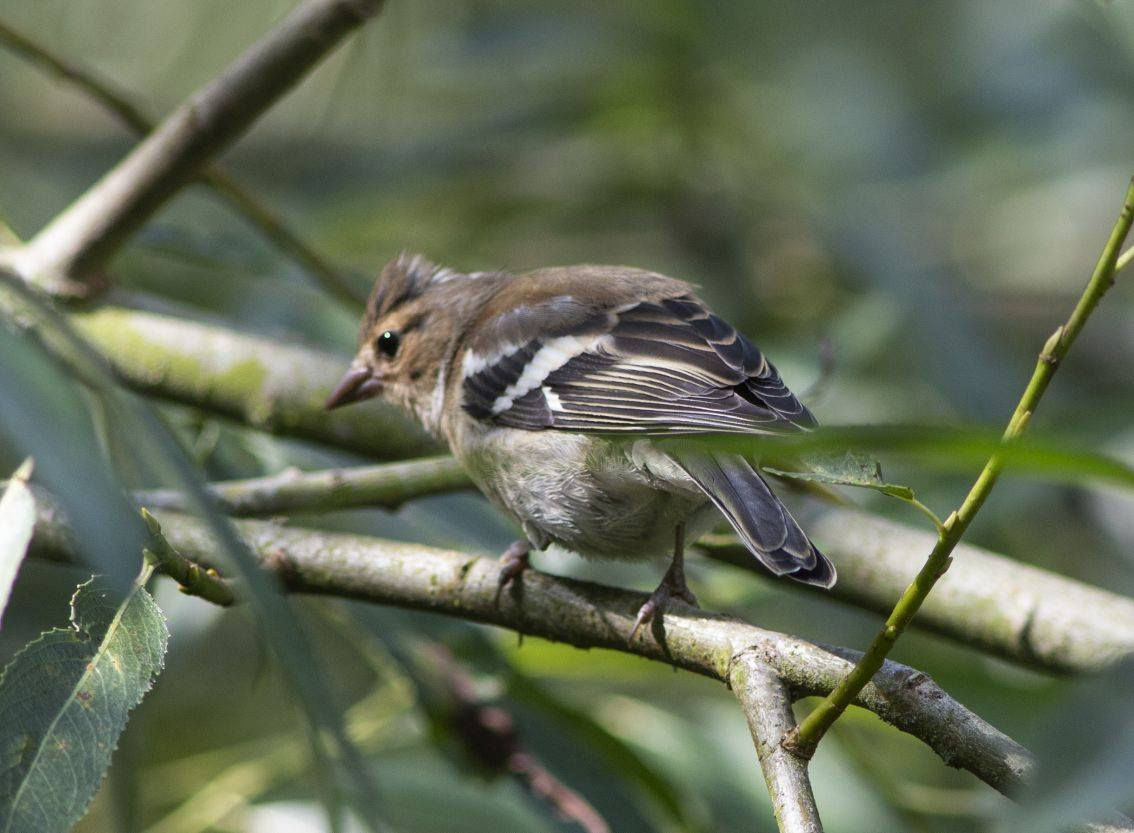 juvenile Goldfinch, by Lewis Outing