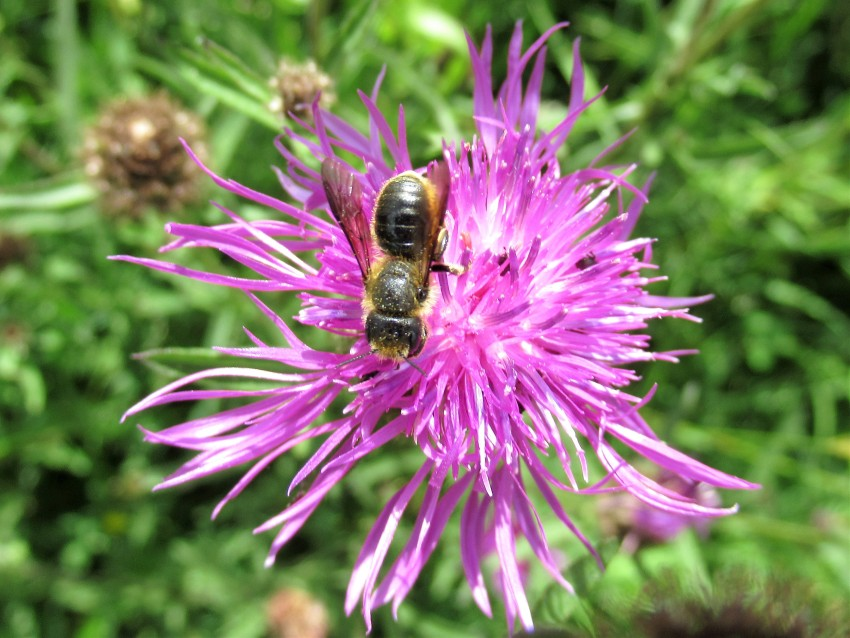 Orange-vented Mason Bee on Knapweed