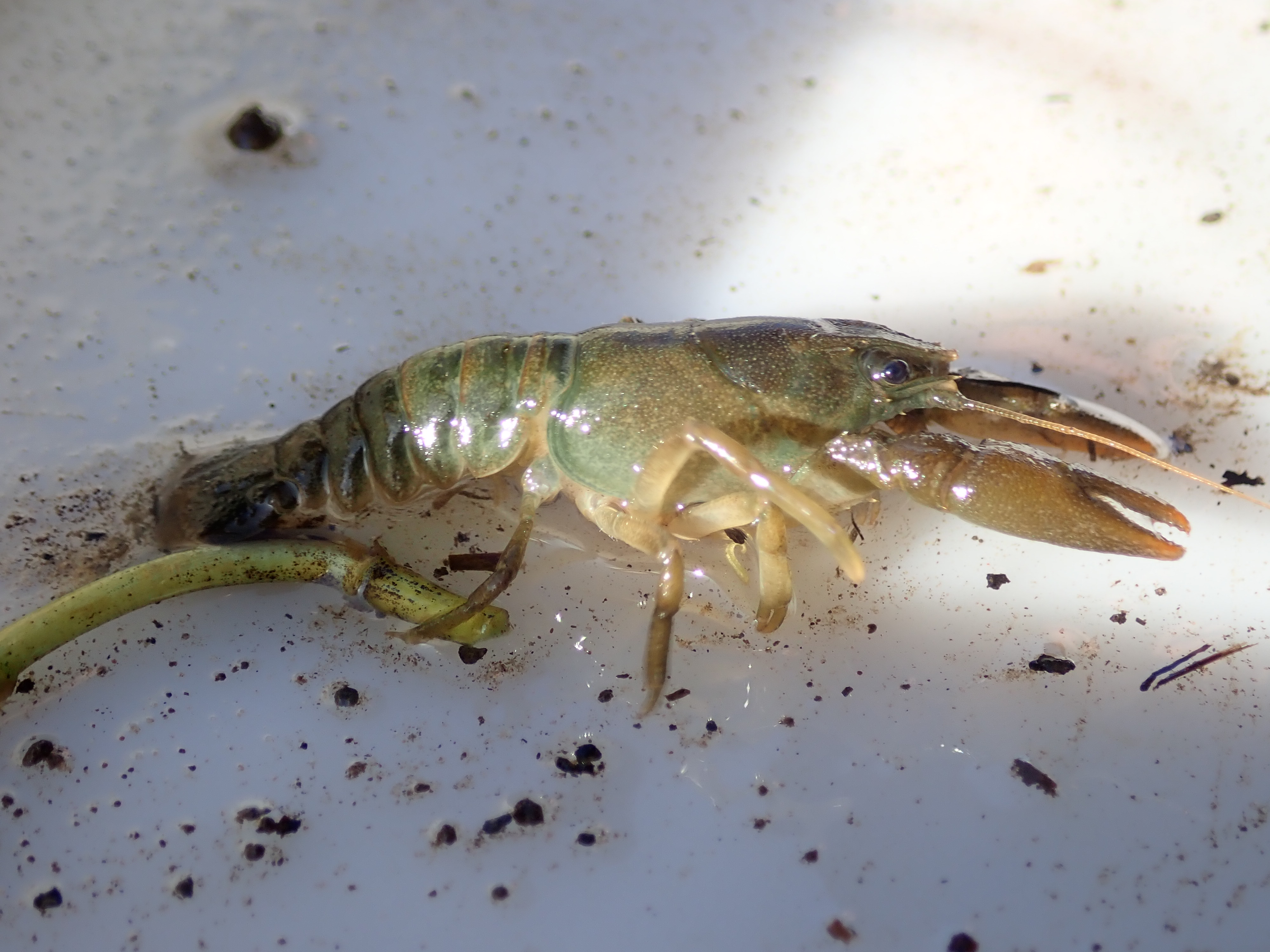 A young adult crayfish with a soft shell having just moulted