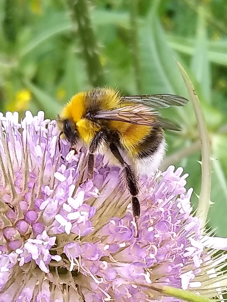 male White-tailed Bumblebee on Teasel