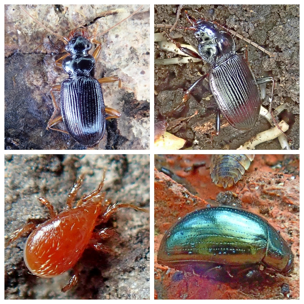 beetles and mite