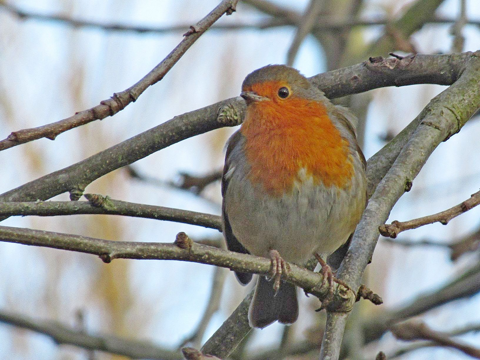 Feb robin
