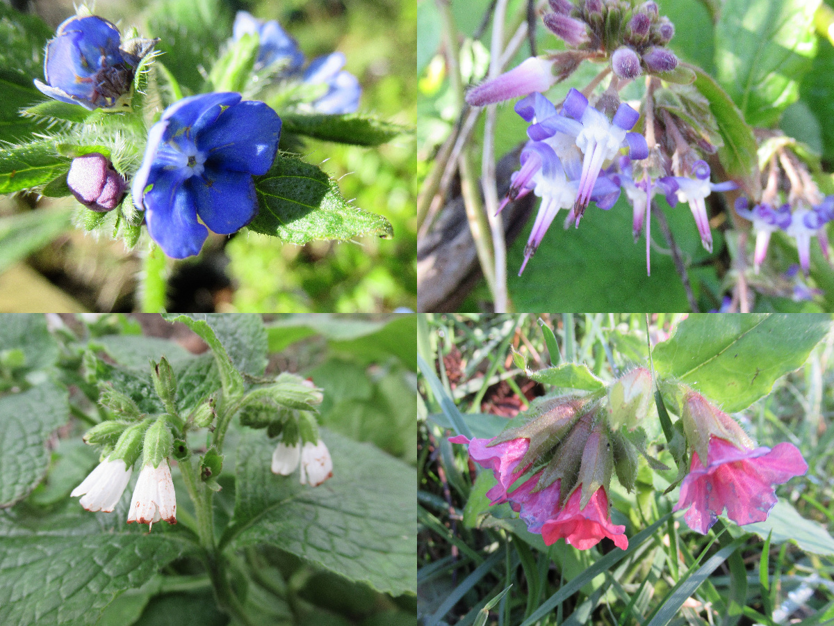 borage family flowers