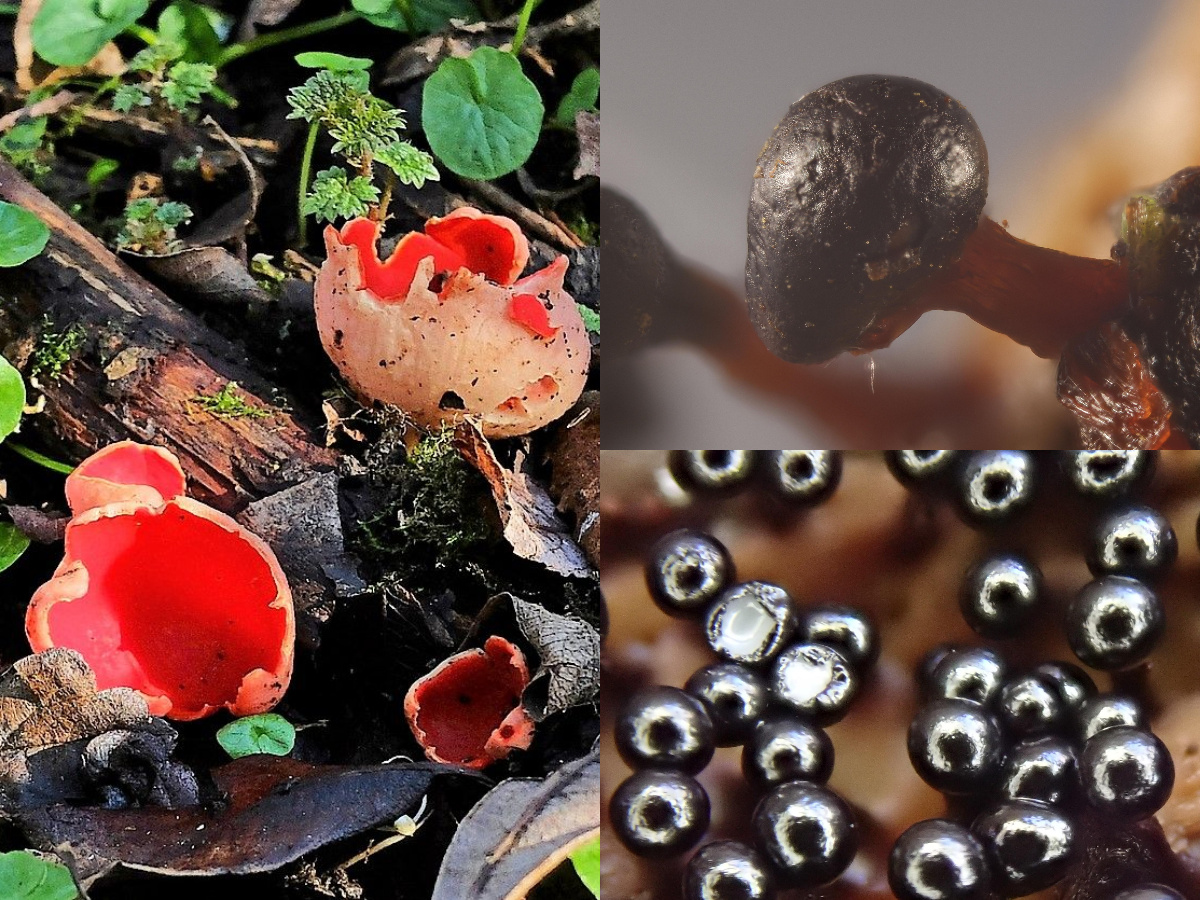 elfcup slime mould collage
