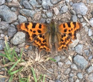 Comma butterfly sunbathing on path