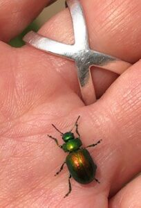 Ecotherapy Project manager Kathy Sturgess holding a tansy beetle at St Nicks