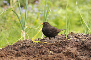Photograph of a blackbird taken by Phil Taylor