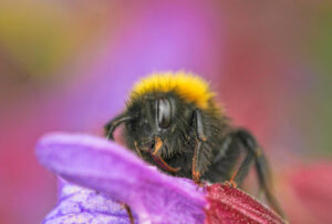 Photograph of a bee taken by Phil Taylor